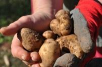 first spuds - newstead community garden