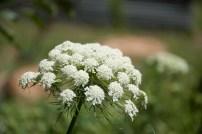 carrot (umbelliferae) flower