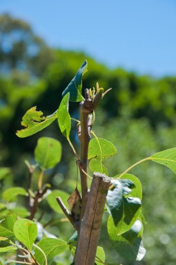 permanent fruiting bud after pruning