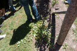 the prunings...