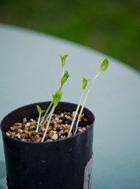 leggy seedlings and tiny yellow box 009