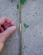 You want to cut 1cm above and below the bud