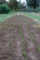 even germination