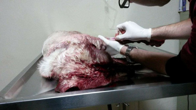 Επικήρυξαν τον δράστη που χτύπησε με τσεκούρι στο κεφάλι αδέσποτο σκύλο που φρόντιζαν φιλόζωοι στην Πλύτρα Λακωνίας