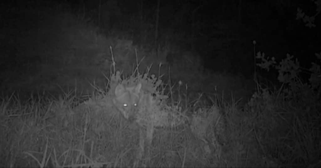 Λύκος περιφέρεται στην Πάρνηθα μετά από 50 χρόνια και φτάνει έως το Κρυονέρι