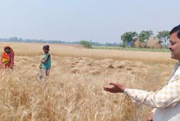जनप्रतिनीधि भेट्न र गहुँ खेतमा किसानसँग व्यस्त छन् कृषि मन्त्री