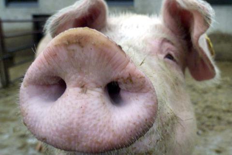 Schweinegrippe und kein Ende
