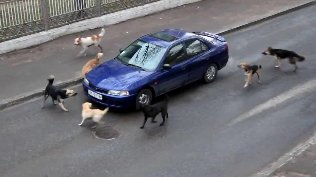 कभी सोचा है कि कुत्ते चलती गाड़ियों का पीछा क्यों करते हैं, हमें पता है आइए जाने