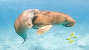 A Beloved Baby Dugong Has Died After Ingesting Plastic