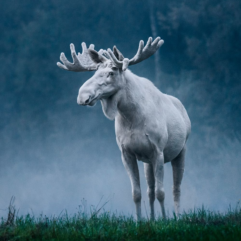 'Everyone is outraged and sad': Canada shocked by killing of rare white moose