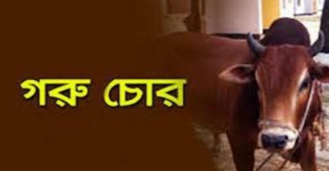 ঈদগাঁওতে আবারো সক্রিয় গরুচোর সিন্ডিকেট :  একরাতে ২টি গরু চুরি