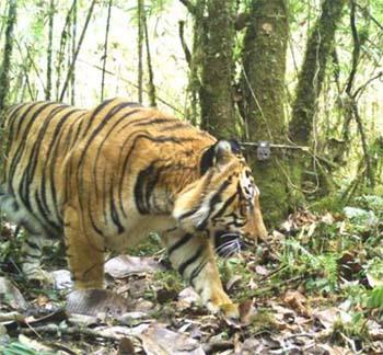 भारत ने बनाया बाघ सर्वेक्षण का नया 'गिनीज वर्ल्ड रिकॉर्ड'