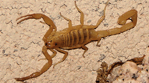Las Vegas scorpions