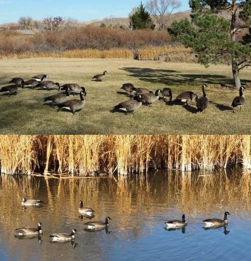 Geese at Mira Loma Park in Reno, Nevada, NV