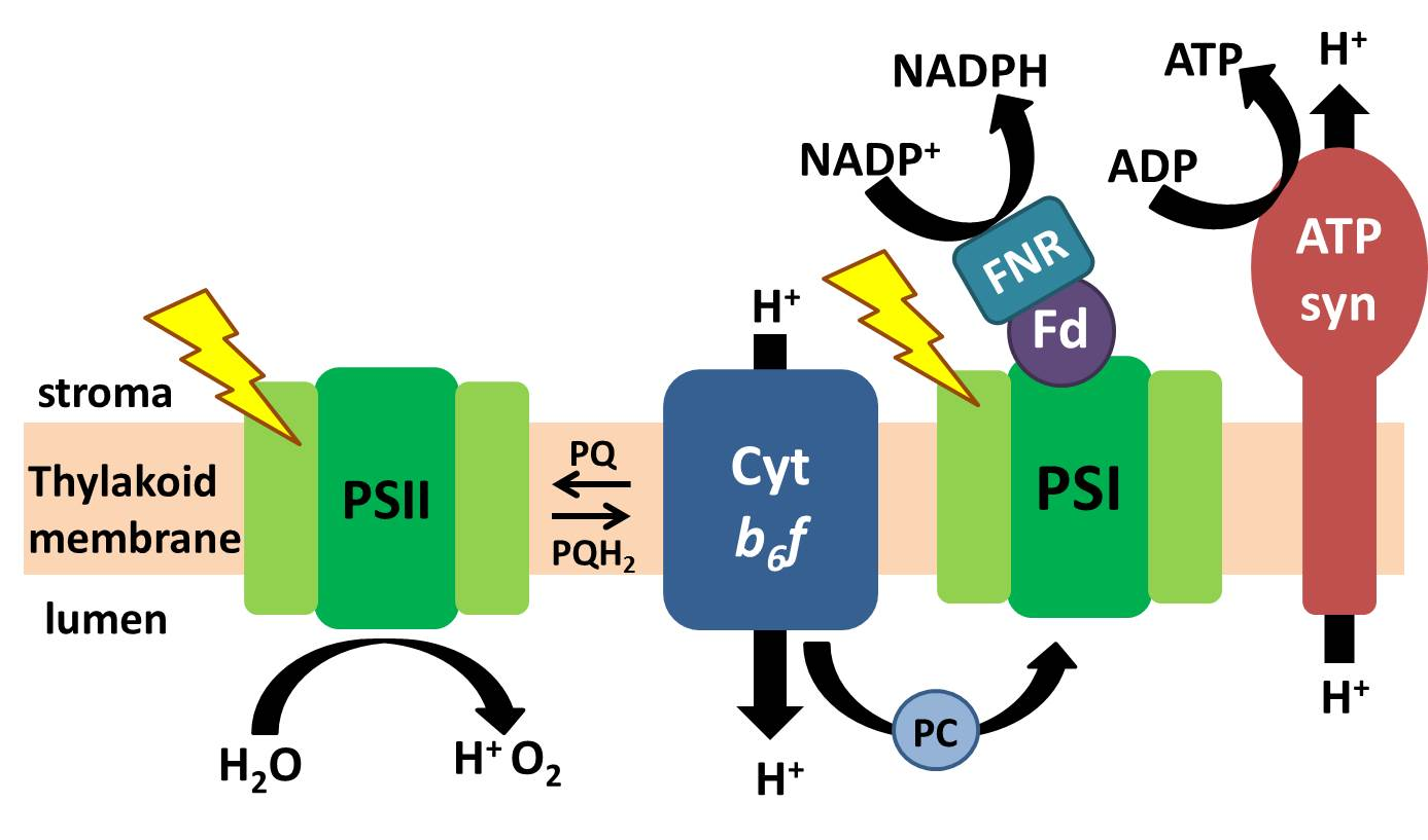 light reactions photosystem diagram caravan towbar wiring photosynthetic dark new under the sun blog