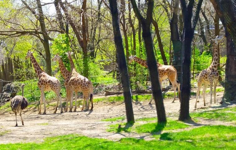 bronx zoo giraffes
