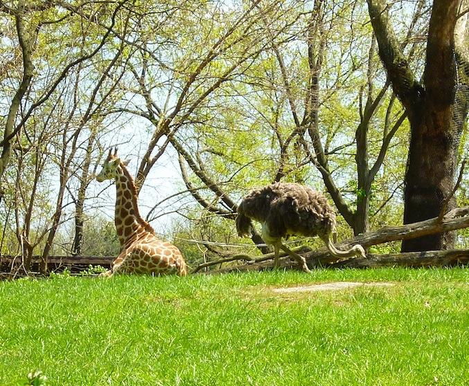 Bronx Zoo ostrich giraffe