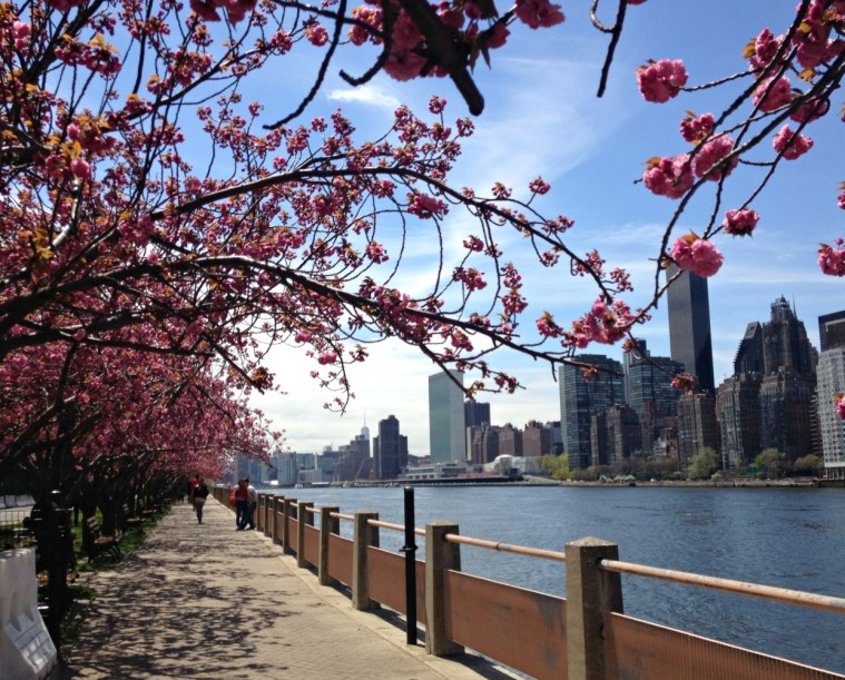 cherry-blossoms-roosevelt-island-path
