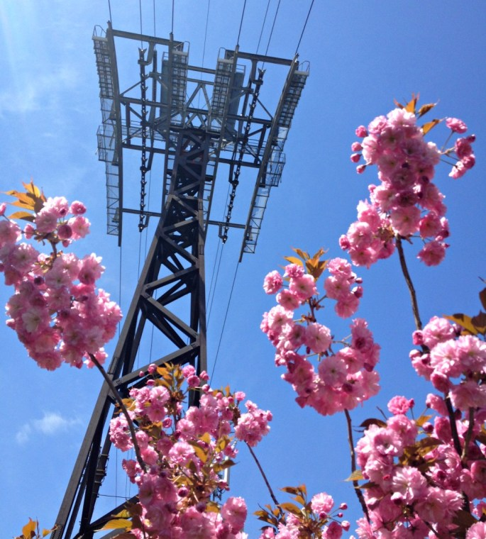 cherry-blossoms-tramway
