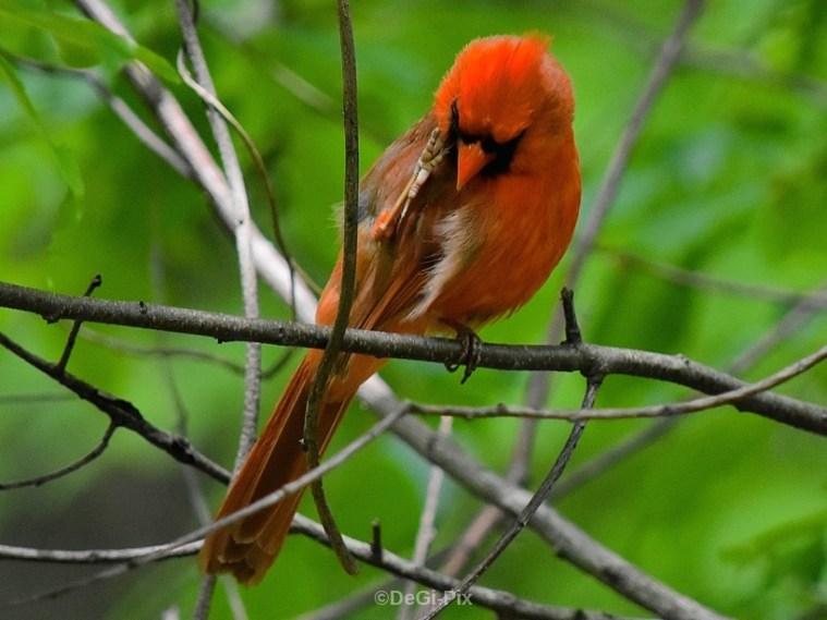 Cardinal scratching