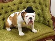 """Romeo, a four-year-old English Bulldog, is getting better reviews than the production of """"The Threepenny Opera"""" that he is in, in which he plays Queen Victoria, a piece of gender-blind (and species-blind) casting. He previously played Rufus in Legally Blonde."""