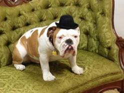 "Romeo, a four-year-old English Bulldog, is getting better reviews than the production of ""The Threepenny Opera"" that he is in, in which he plays Queen Victoria, a piece of gender-blind (and species-blind) casting. He previously played Rufus in Legally Blonde."