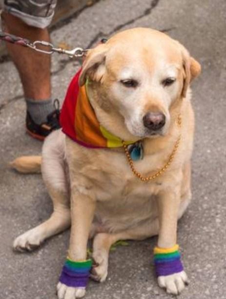 dog with rainbow flag