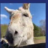 Amanda Seyfried's donkey