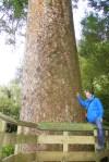 ein dicker, alter Kauri Baum mit 2,7m Durchmesser