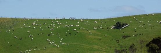 NZ hat mehr Schafe als Einwohner