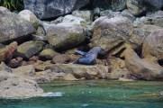 Seehunde machen es sich auf den warmen Steinen gemütlich