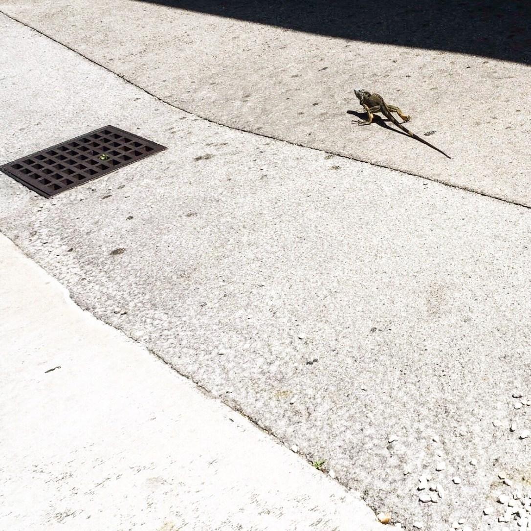 a blue iguana in Georgetown