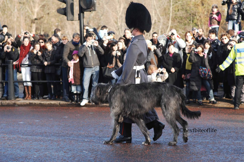 Irish wolfhound at changing of the guard London