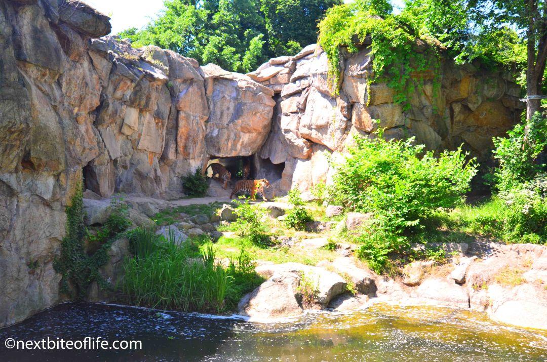 zoo tigers at berlin zoo