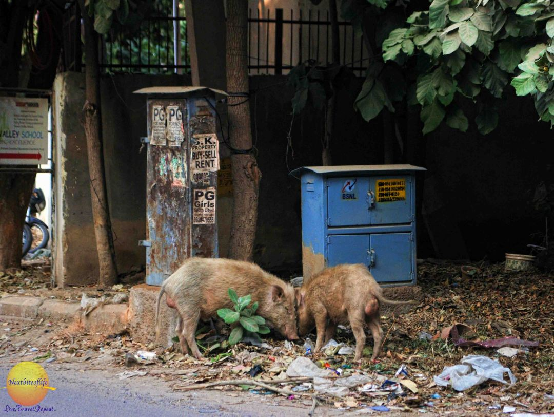 pigs eating rubbbish new delhi