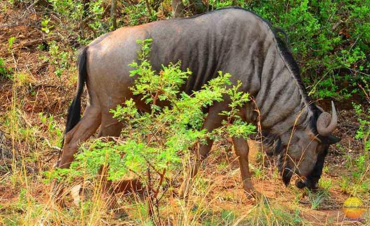 pilanesburg park wildebeest