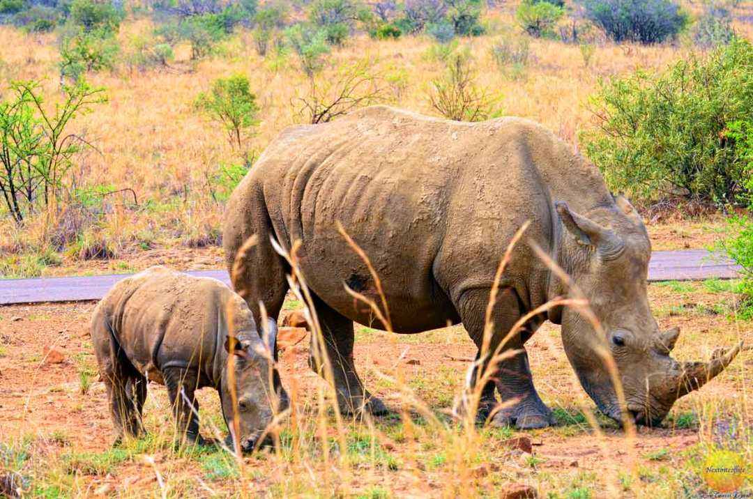mother and baby rhino grazing pilanesberg