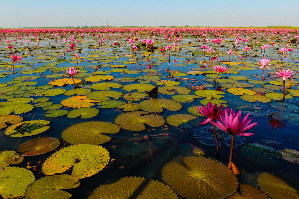 Red Lotus sea thailand photo