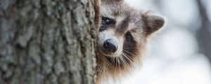 Next Generation Canada Immigration Services Racoon