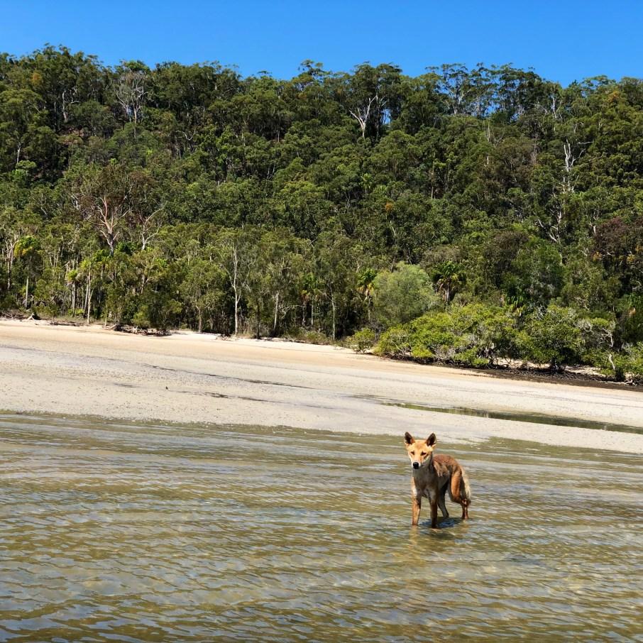 Dingo in kepler island memories