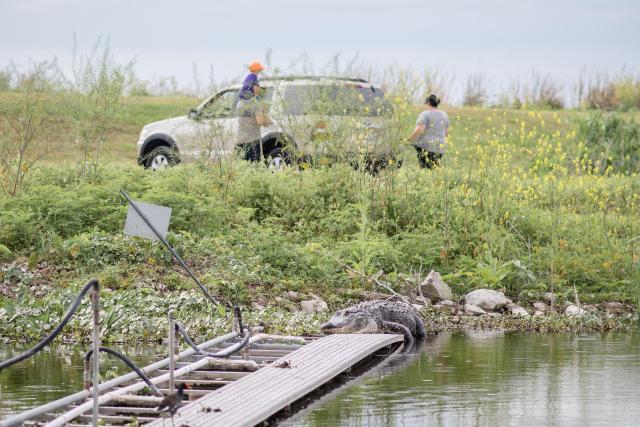 florida gators in lake apopka