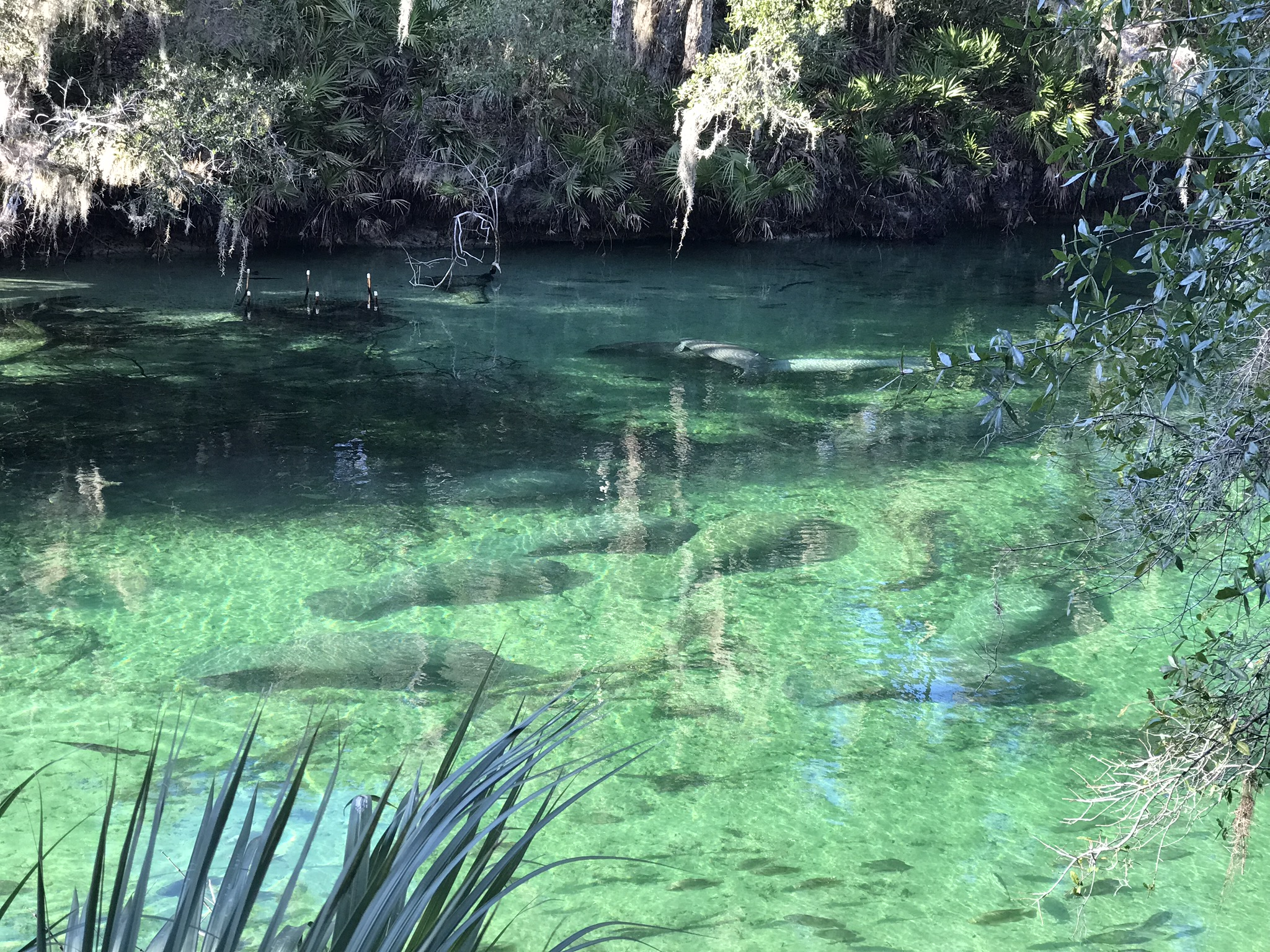 Manatee Viewing in Blue Spring