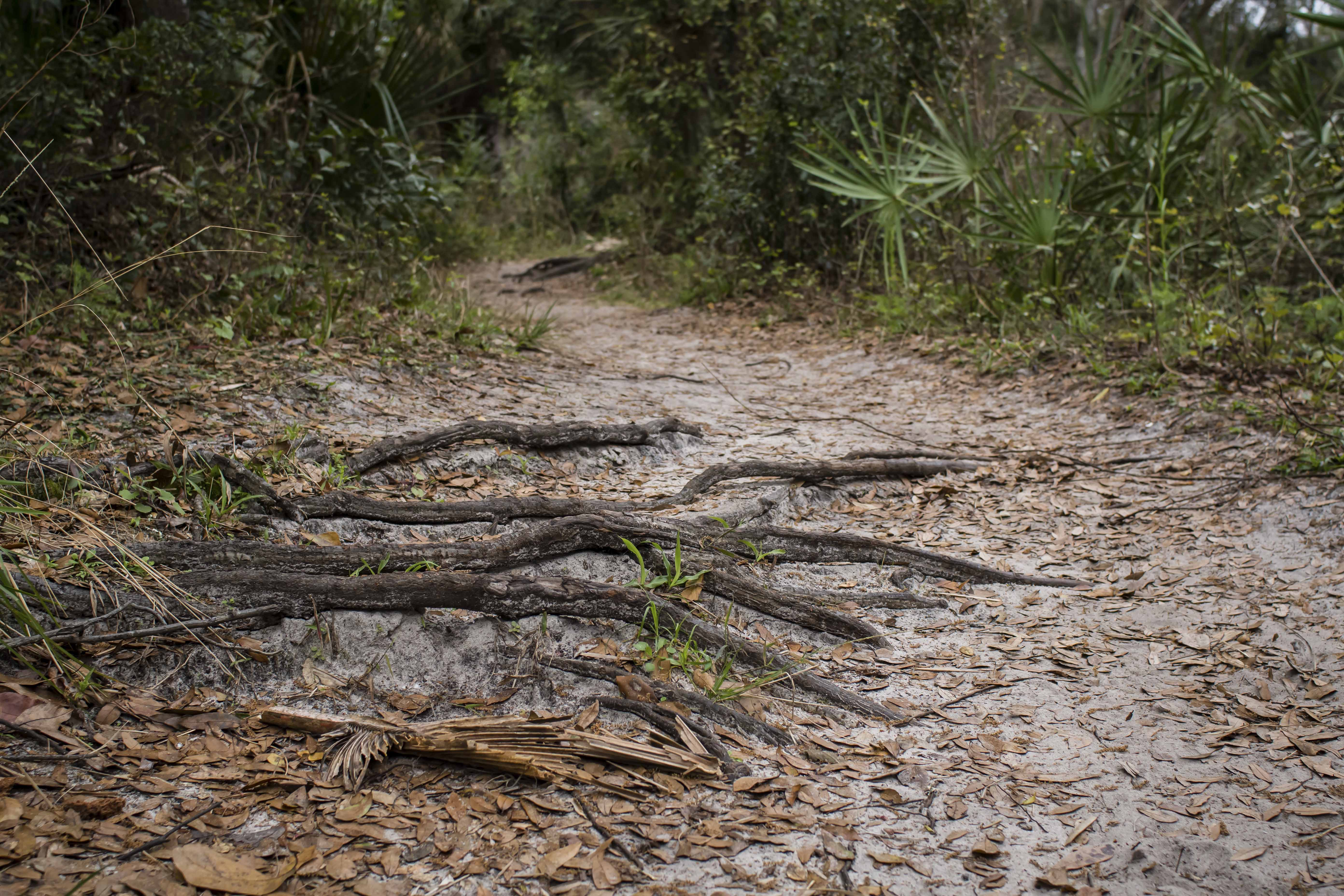 root-filled hiking trails