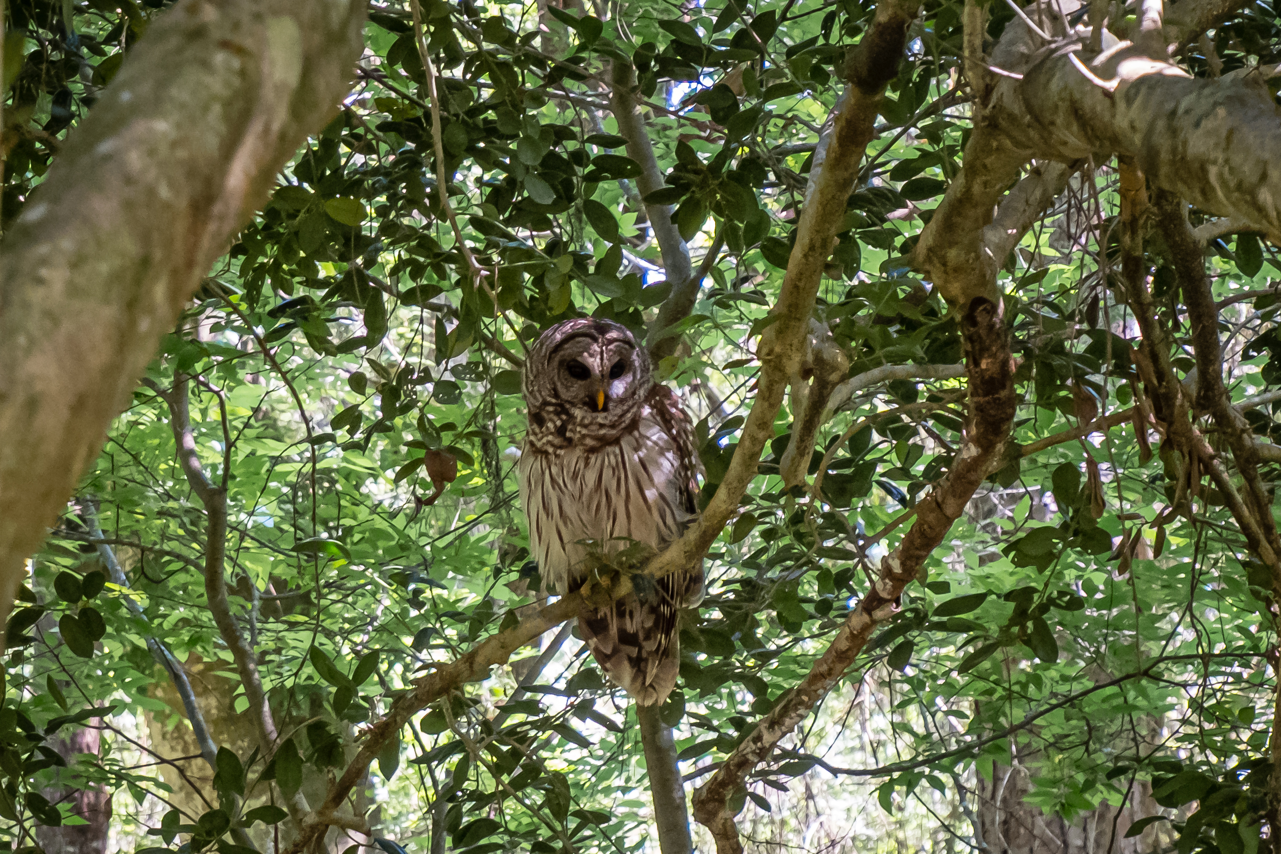 owls in Florida state parks