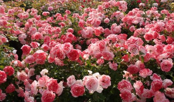 T Kiva rose garden
