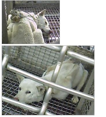 韓国白犬事件