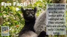 Indri Lemur Fun Fact