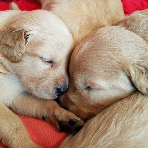 Happy Dog image of baby Golden Retrievers sleeping together