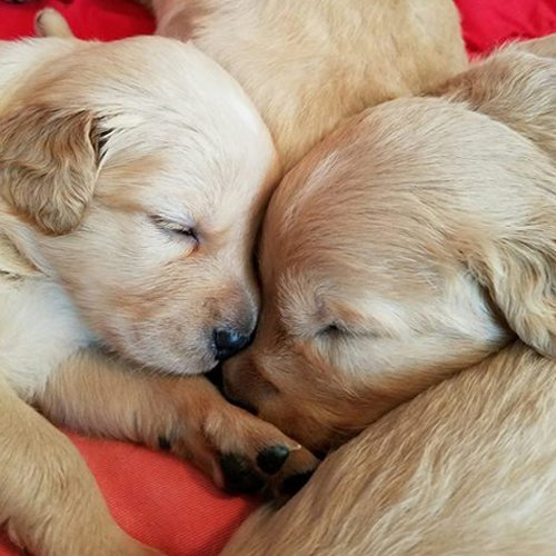 Happy Dog image of baby Golden Retrievers sleeping together