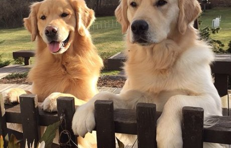 Happy Golden Retrievers